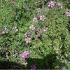 Fagonia cretica (Rosa de la virgen)