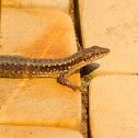 Anatolian Rock Lizard