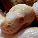 Top-end ALBINO Carpet Python
