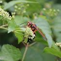 Eastern cicada killer