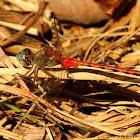 Blue-faced meadowhawk dragonfly