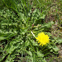 Common Dandilion