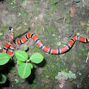 Serpiente Coral - Dumeril's Coral Snake