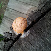 Dog vomit slime mold