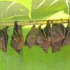 lesser short nosed fruit bat