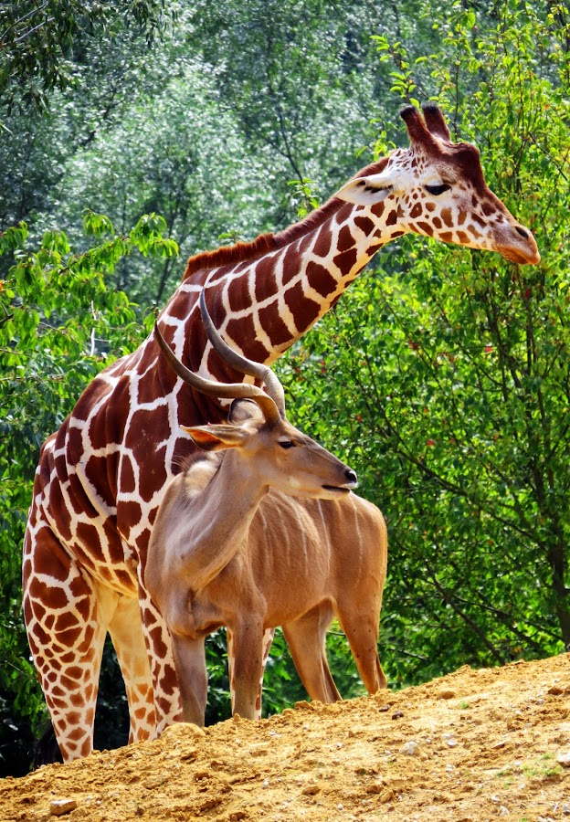 Giraffe by Richard Lawes - Novices Only Wildlife