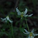 Oregon Trout Lily