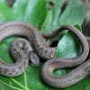 Dekays Brown Snake