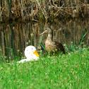 Wild Mallard & Domestic Duck