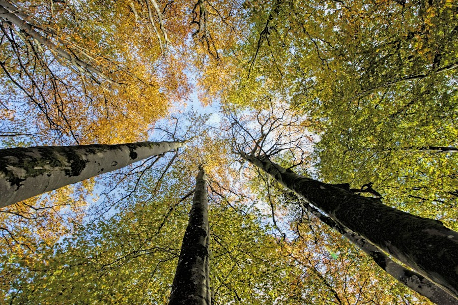 Looking up by Rune Nygård - Nature Up Close Trees & Bushes ( sky, blue, green, trees, yellow, black )