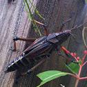 Eastrn Lubber grasshopper