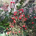 nandina red berries