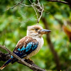 by Brad Uhlmann - Animals Birds