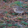 Song Sparrow - Eastern Form