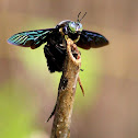 Borneo carpenter bee
