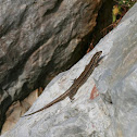Common Wall Lizard / Mauereidechse