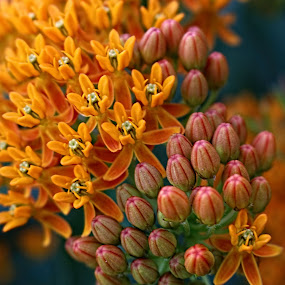Milkweed by Jennifer Wheatley-Wolf - Flowers Flowers in the Wild ( orange, jennifer wheatley-wolf, butterfly weed, milkweed, flower )