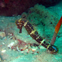 Tiger tail seahorse