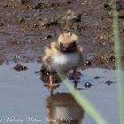 Common Tern chick; Charrán Común