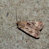 Brown or Pink Cutworm - male