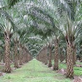 Oil Palm Land Valuation