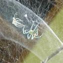 Tend Spider