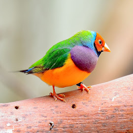 The Gouldian finch by RJ Photographics - Novices Only Wildlife