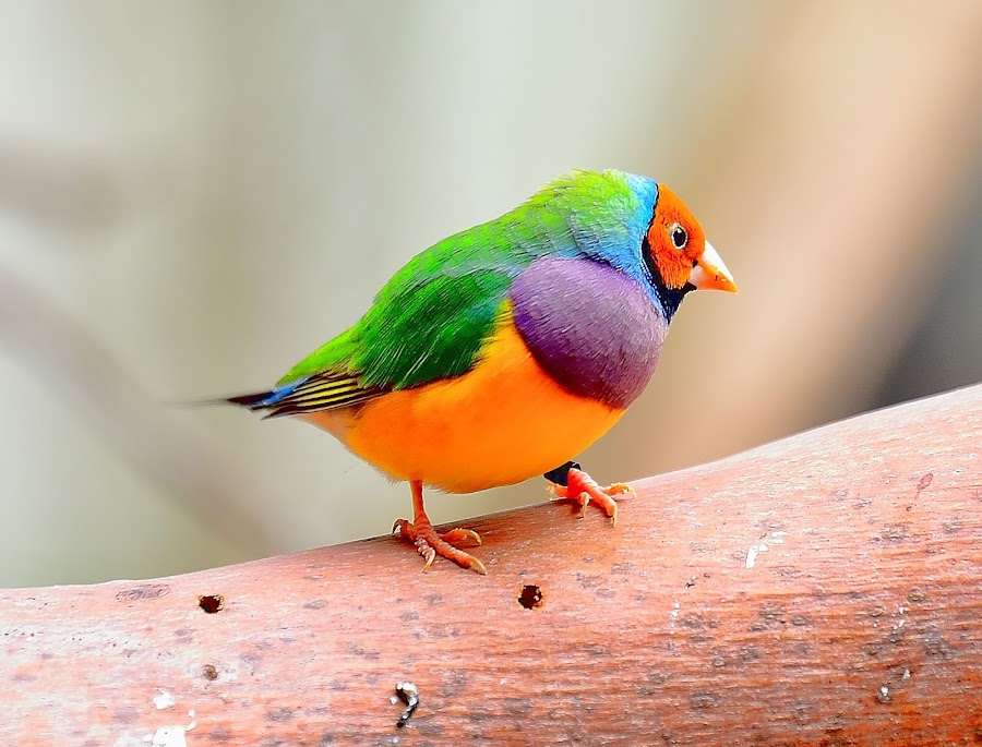 The Gouldian finch by RJ Photographics - Novices Only Wildlife (  )