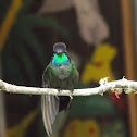Magnificent Humming Bird