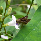 Grey Swift