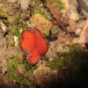 Eyelash fungi