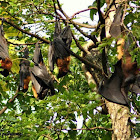 Fruit Bats or Indian Flying foxes