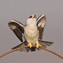 Black - winged Kite
