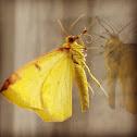 Yellow Brimstone Moth