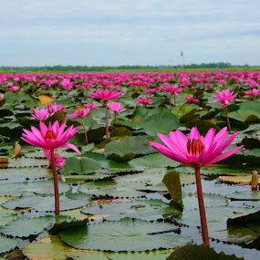 the lake of Red water lilies by Kitty Bern - Flowers Flowers in the Wild ( water, lotus, thailand, lake, water lily )