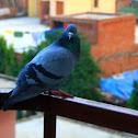 Rock Pigeon, Rock Dove