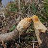 North American Beaver work