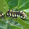 Dainty Swallowtail Caterpillar, Dingy Swallowtail Caterpillar. Citrus Swallowtail Butterfly.