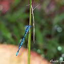 Common Bluetail Damselfly-Damselflies