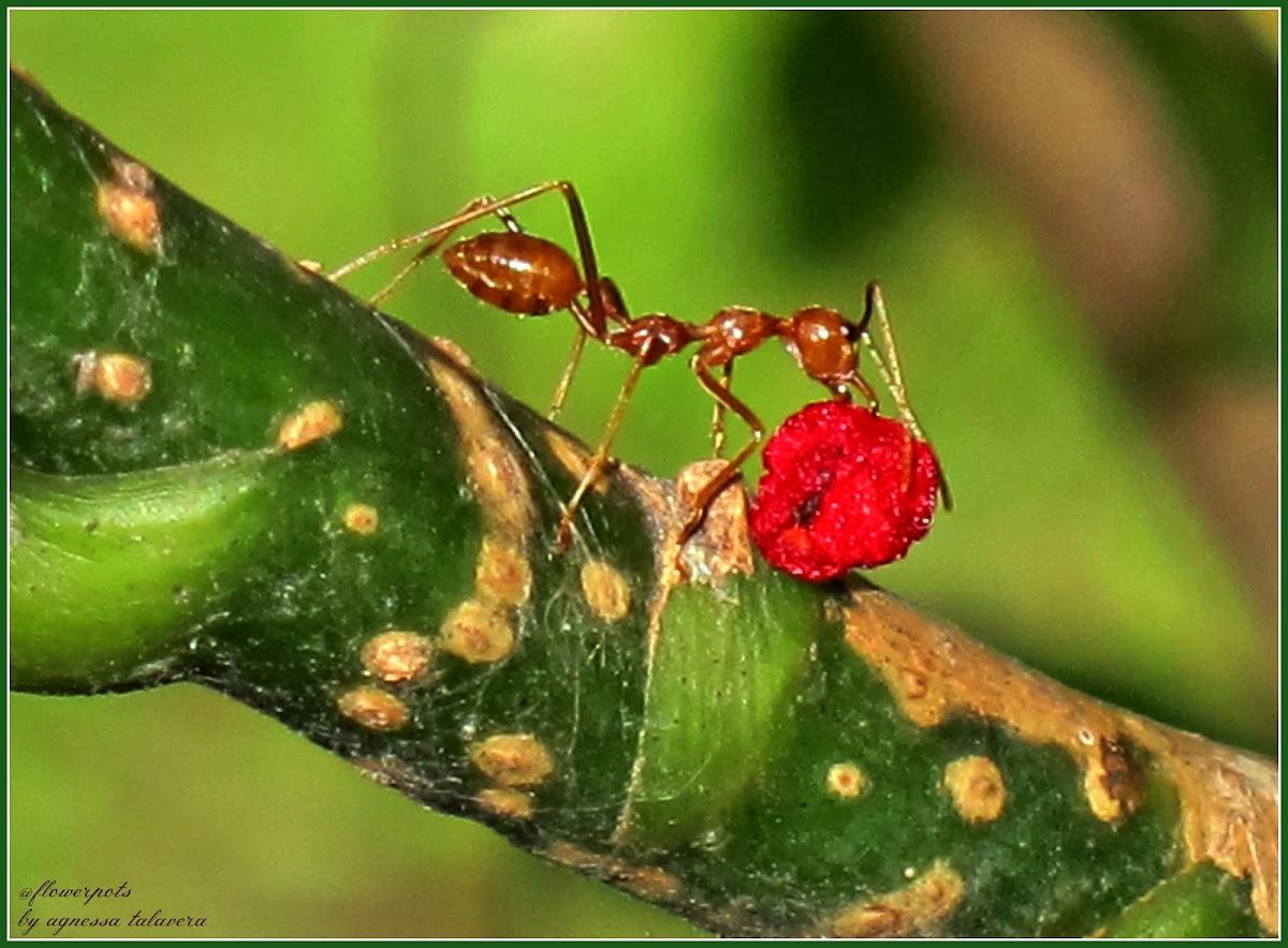 Hantik, Weaver Ants