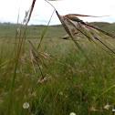 Red grass/ Red oat grass