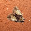 Hawthorn Underwing