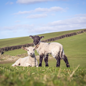 Lambs by Alex Barrow - Animals Other Mammals ( field, grass, lambs, lamb,  )