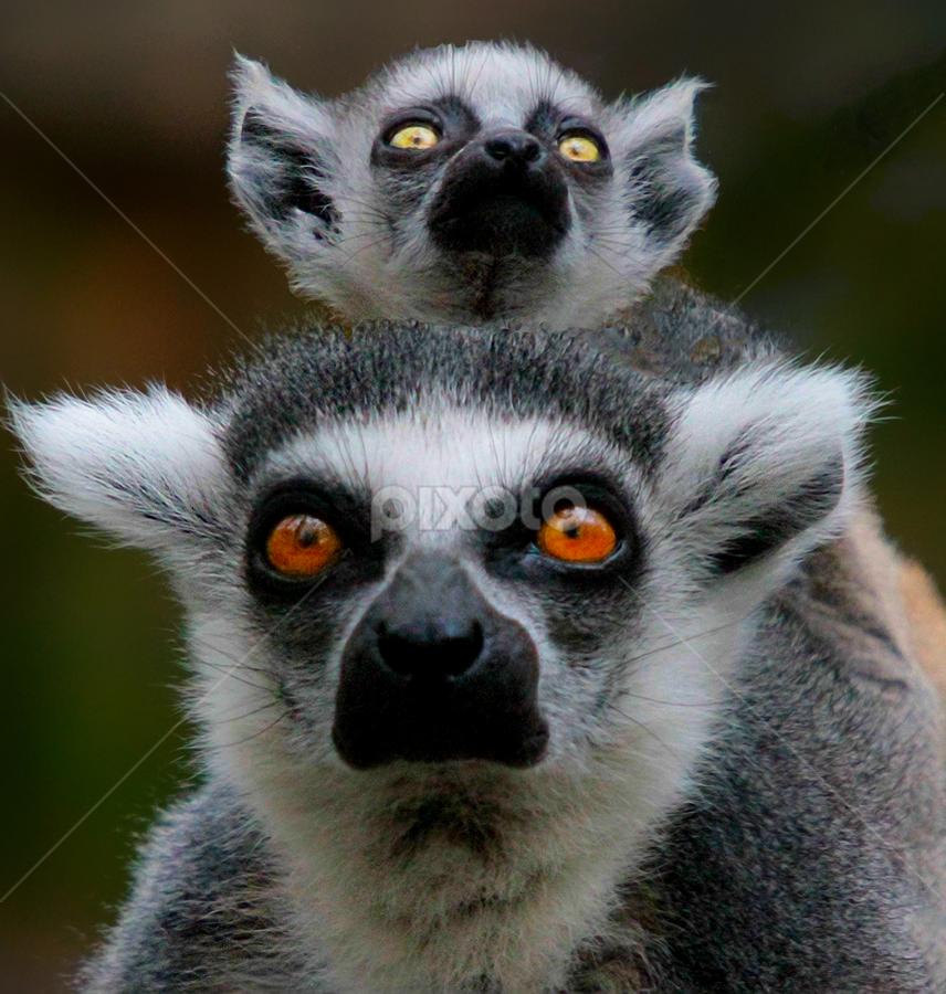 The Eyes Have It by John Larson - Animals Other Mammals ( animal, monkey,  )