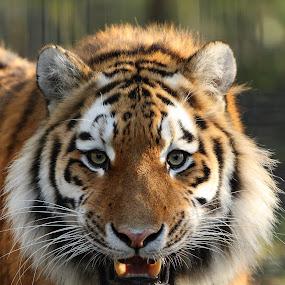 Siberian Tiger Growling by Selena Chambers - Animals Lions, Tigers & Big Cats ( siberian tiger, amur tiger, tiger, tiger growling, , zoowatch, zoo, animals )