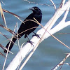 Male Great Tailed Grackle