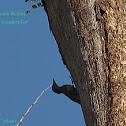 scaly bellied woodpecker