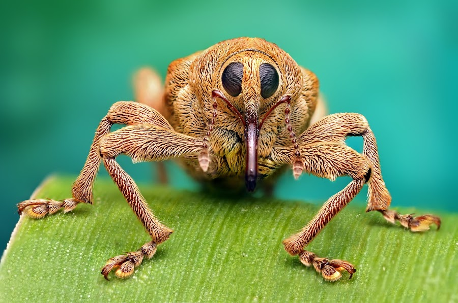 Hello!! by Ondrej Pakan - Animals Insects & Spiders ( macro, beatle, bug, weevil, insect )