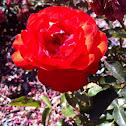 Trumpeter Rose
