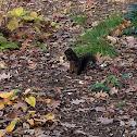Eastern Gray Squirrel (black)